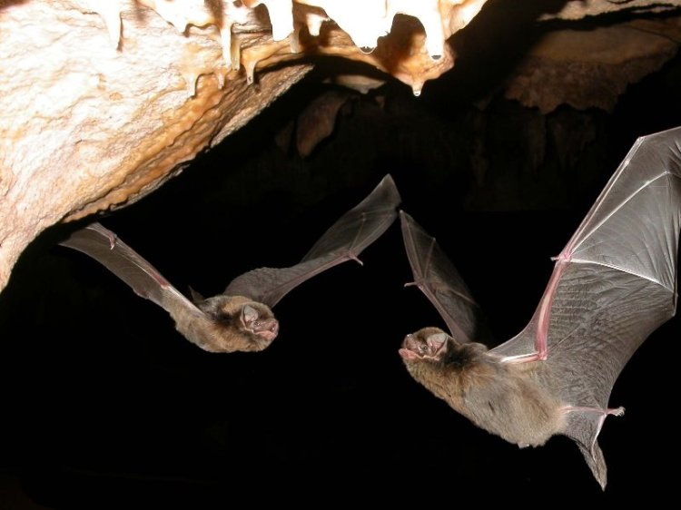 Southern Bent-wing Bats in flight. Photograph by and courtesy of Terry Reardon.
